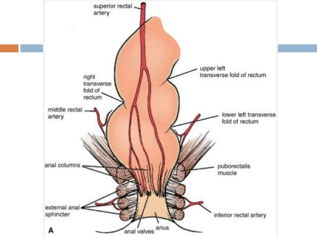 Anatomy Of Rectum And Anus Dr Peter Andre Soltau