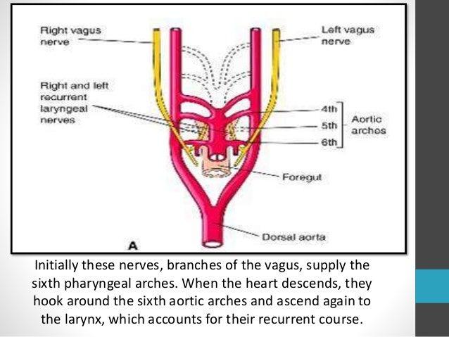 Anatomy of recurrent laryngeal nerve