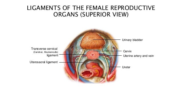 Anatomy Of Reproductive System