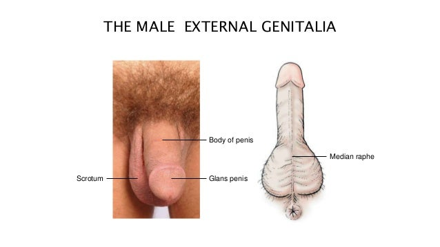 External structure the penis