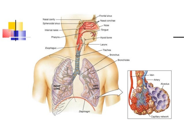 Anatomy Of Respiratory System