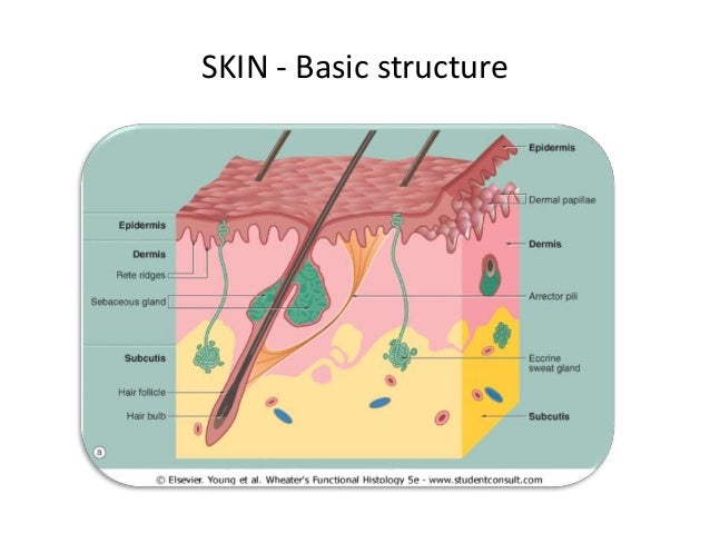 Anatomy Of Skin Amp Inflammation