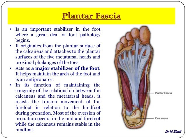 Anatomy of small joints of the foot