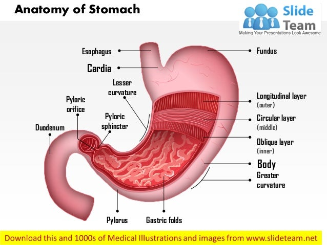 Anatomy Of Stomach Medical Images For Power Point