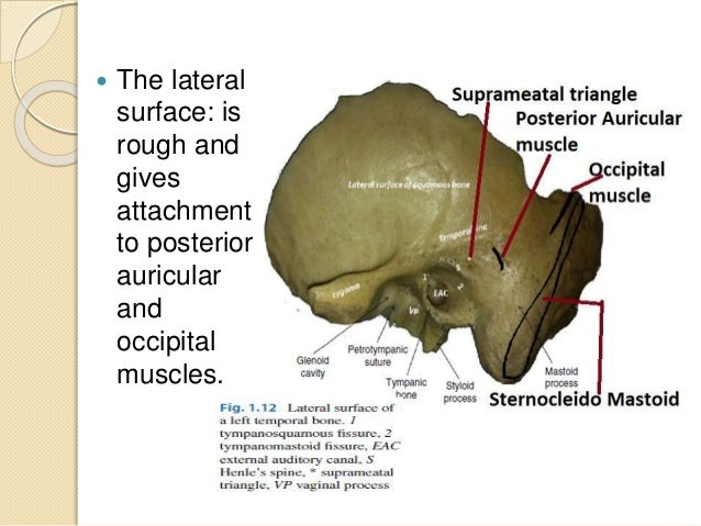 Mastoid bone anatomy
