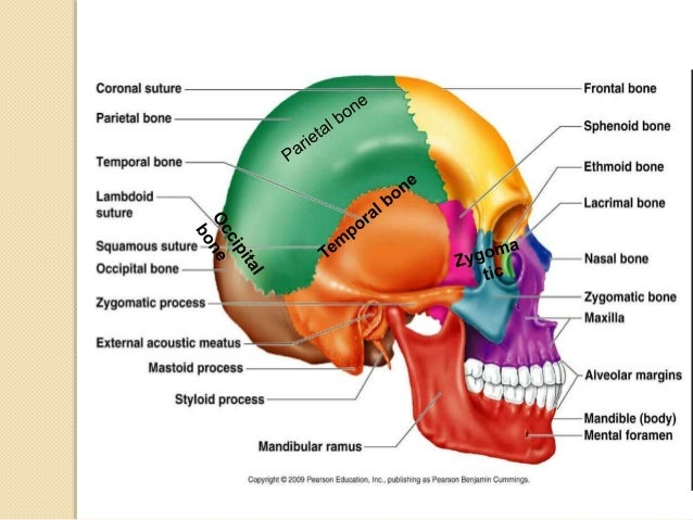 Anatomy Of Temporal Bone By Drjay Kumar Amu
