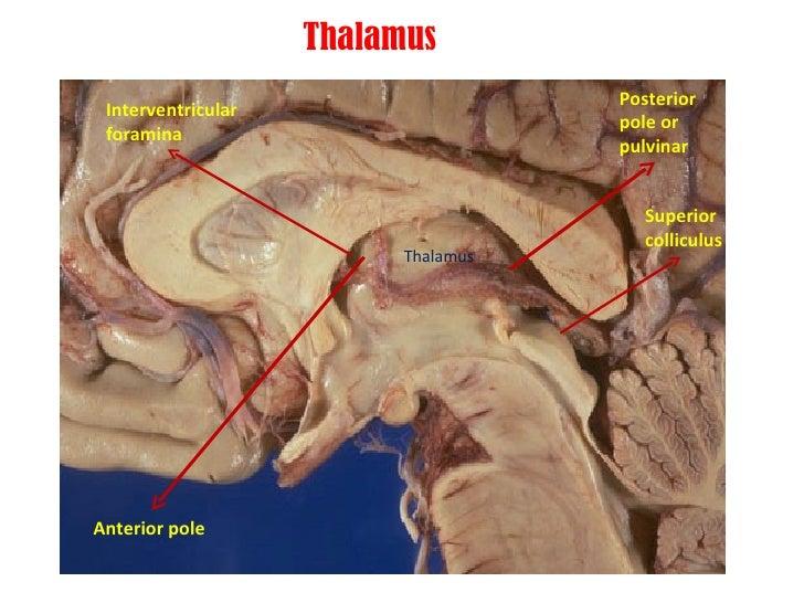 Anatomy Of Thalamus
