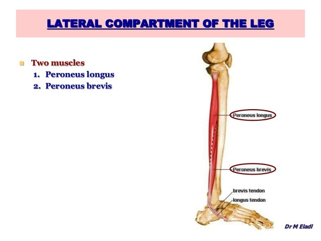 lateral compartment of leg - photo #2