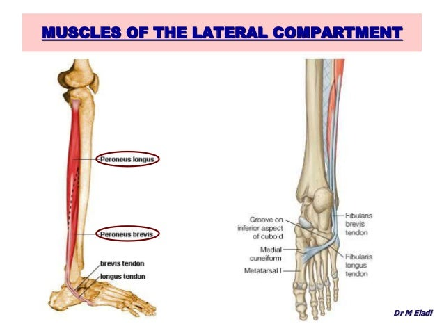 What is lateral in anatomy