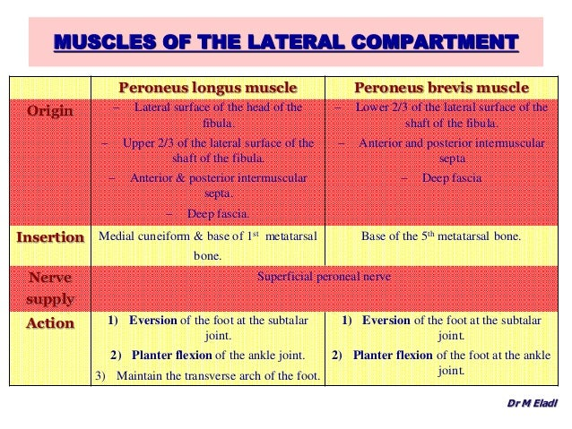 Anatomy Of The Anterior Lateral Compartments Of The Leg