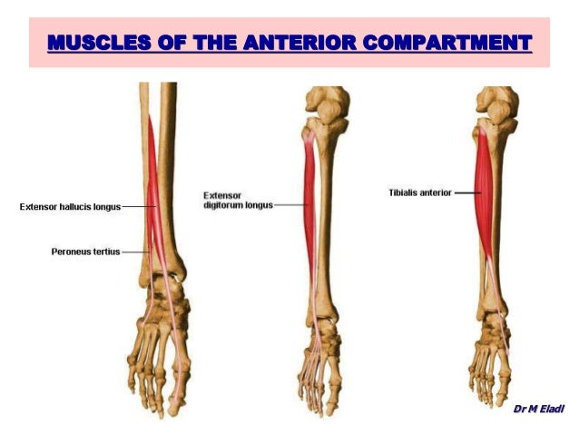 Anatomy of the anterior & lateral compartments of the leg