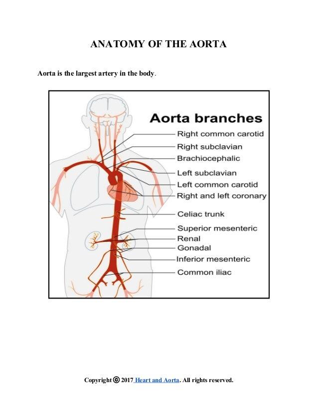 Anatomy Of The Aorta