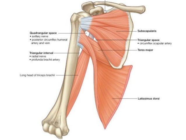 Anatomy of the axilla