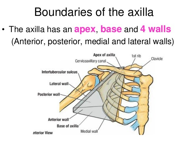 Image result for axilla