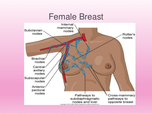 anatomy of the breast, Muscles