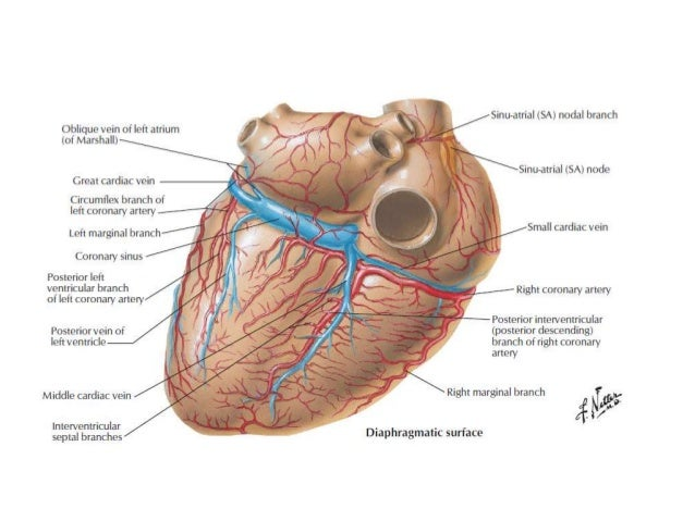 Anatomy of the cardiovascular system 3
