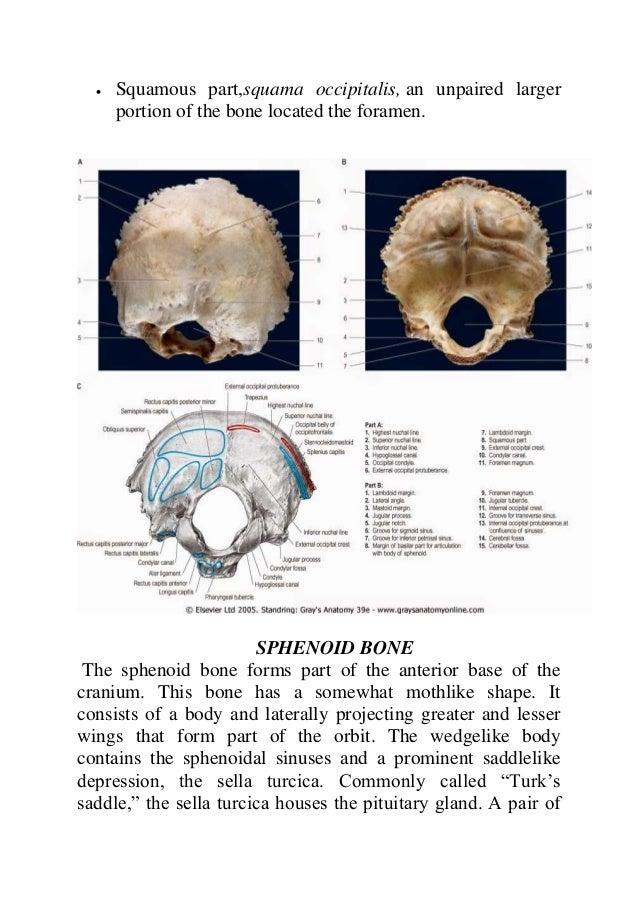 Anatomy of the cranial bones