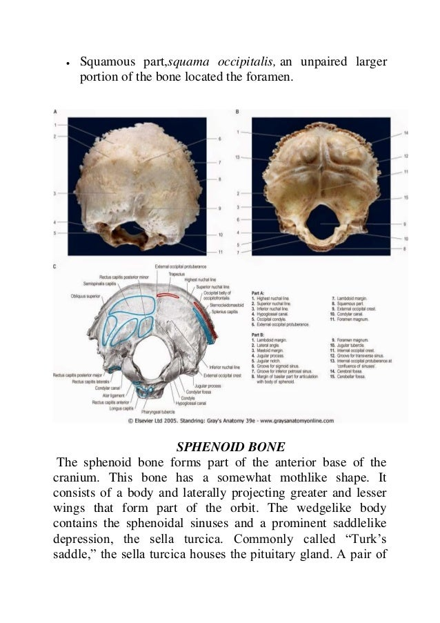 Cranial bone anatomy