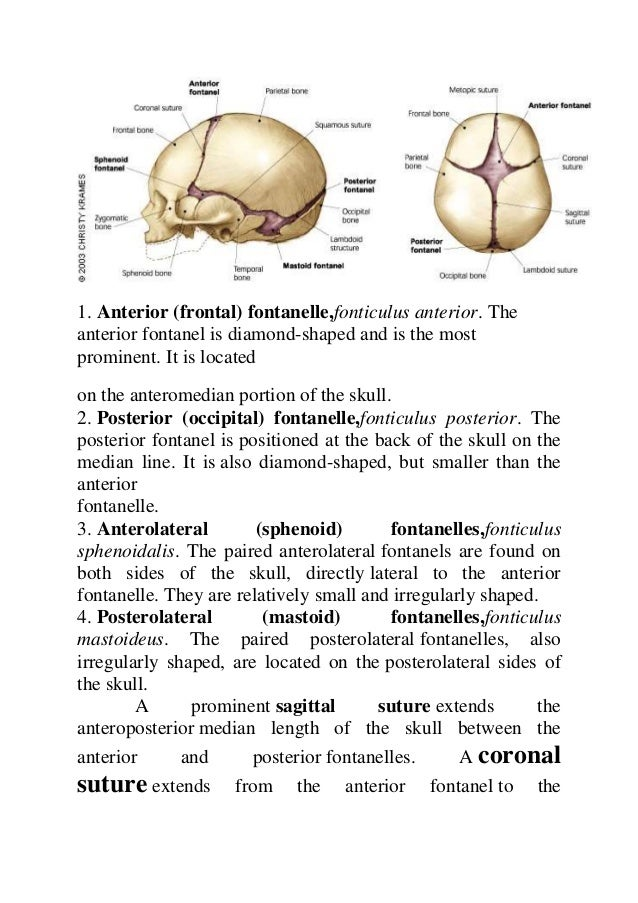 Cranial bones anatomy