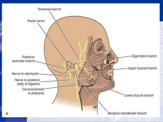 anatomy of the cranial nerves, Human Body