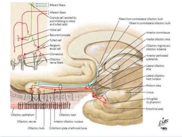 Anatomy of the cranial nerves