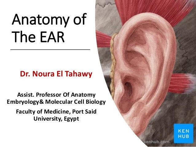 Anatomy of The EAR Dr. Noura El Tahawy Assist. Professor Of Anatomy Embryology& Molecular Cell Biology Faculty of Medicine...
