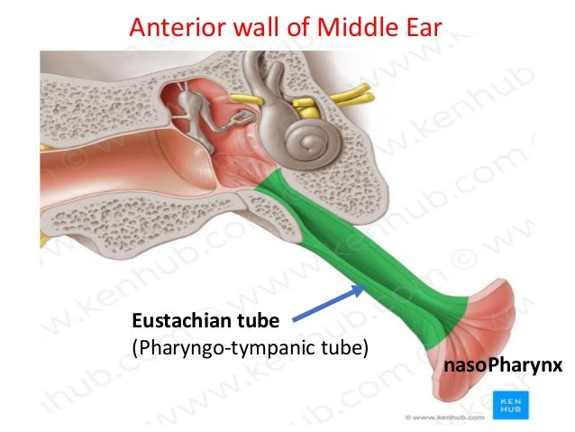 Anatomy Of The Ear Ecture 2 By Dr Noura 2018