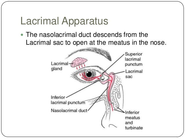 Nasolacrimal duct anatomy