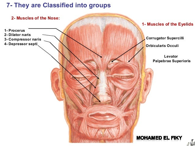 Facial muscles anatomy ppt.