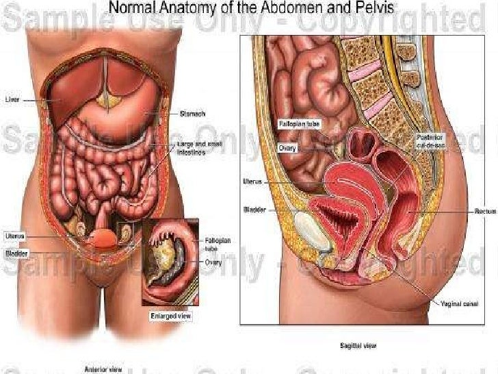 anatomy of the female reproductive system, Human body