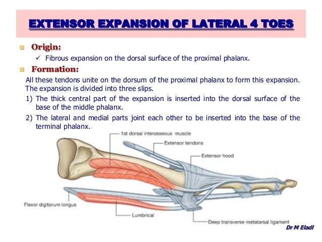 Anatomy of the toes