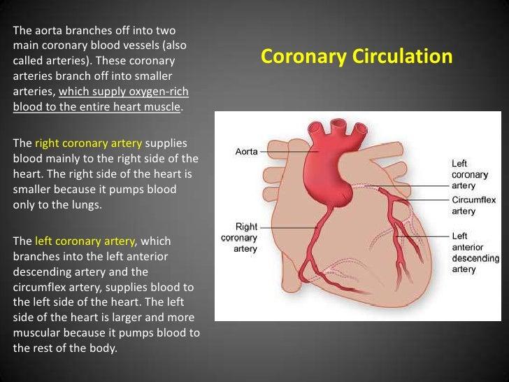 Anatomy Of The Heart Schleich