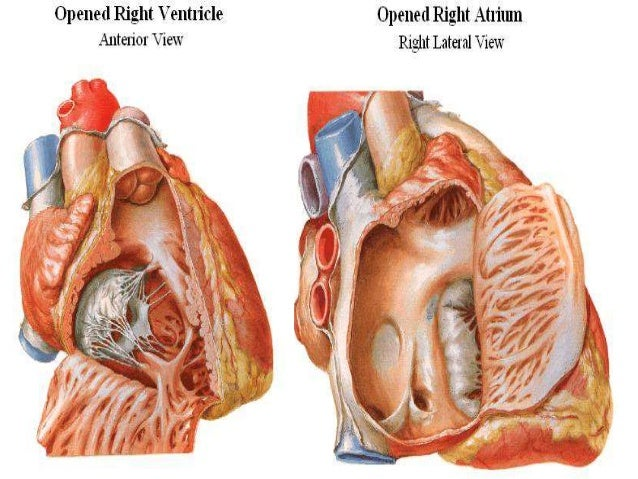 anatomy of the heart, Human body
