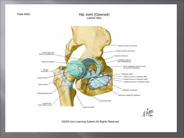 Anatomy Of The Hip Joint Anoop