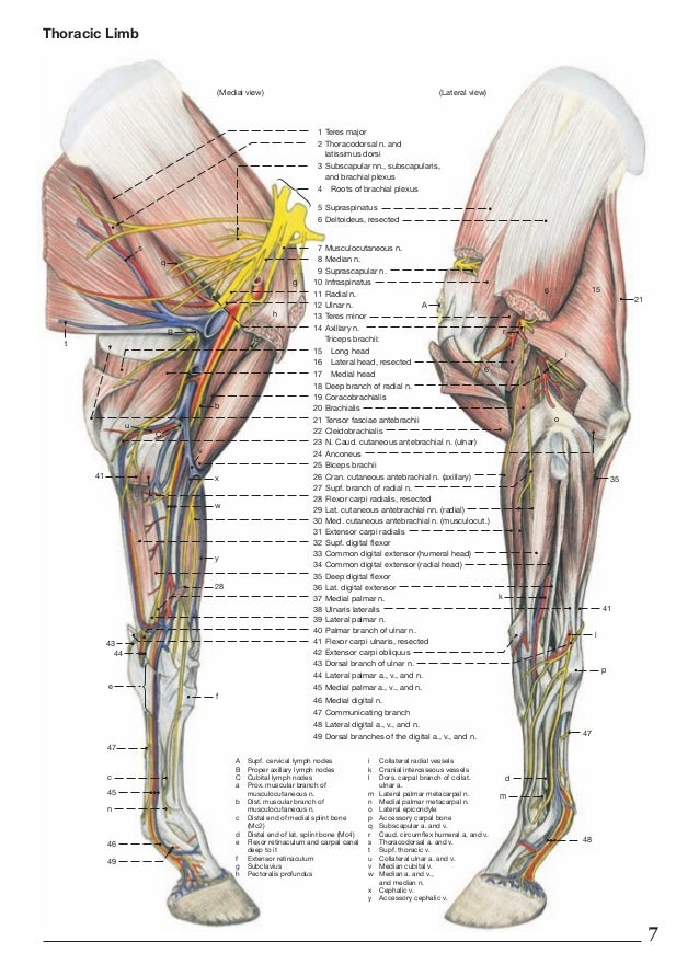 Diagram Of Leg Muscles Horses - Electrical Work Wiring Diagram •