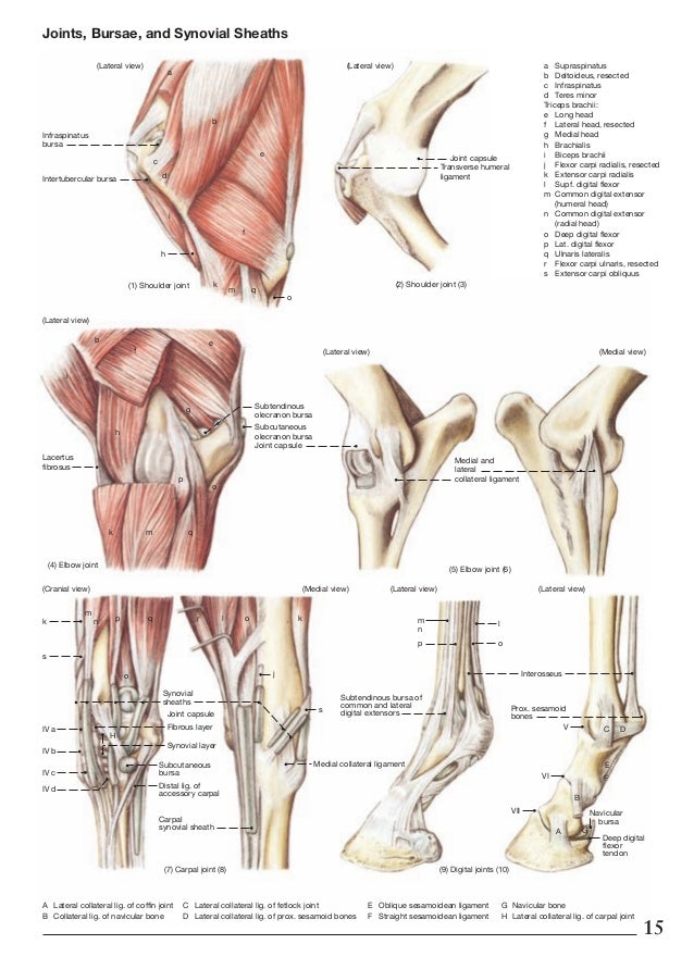Labeled Horse Forearm Diagram - Wiring Library •