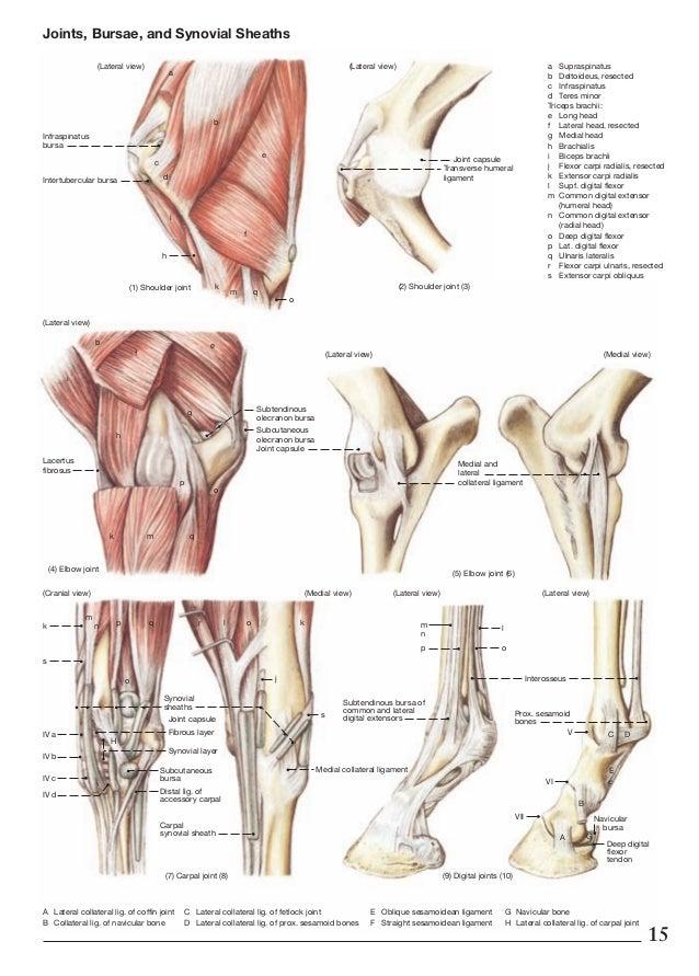 Horse Anatomy Diagram Shoulder - DIY Wiring Diagrams •