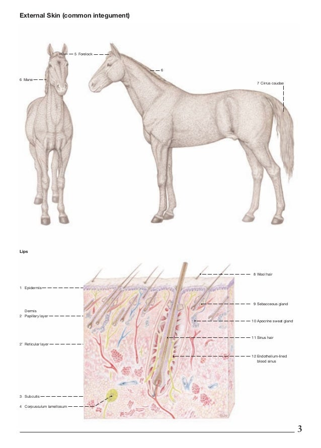 Horse Lymph Nodes Diagram - Electrical Work Wiring Diagram •