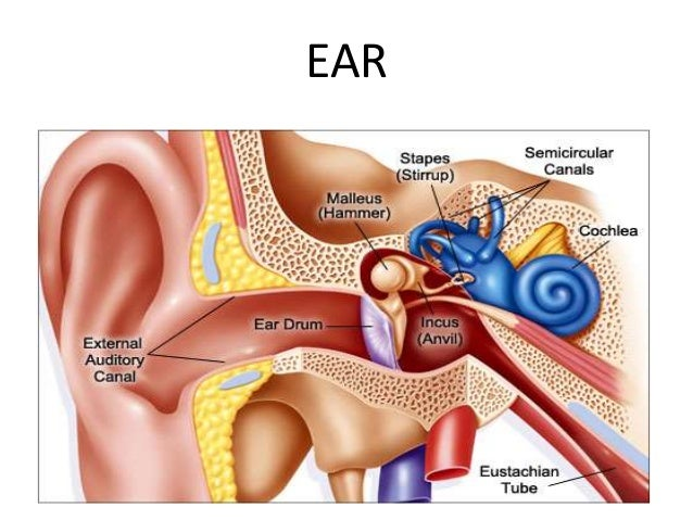 Anatomy of the inner ear parts of inner ear ccuart Choice Image