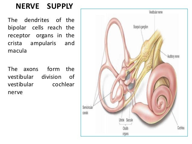 Anatomy of the inner ear