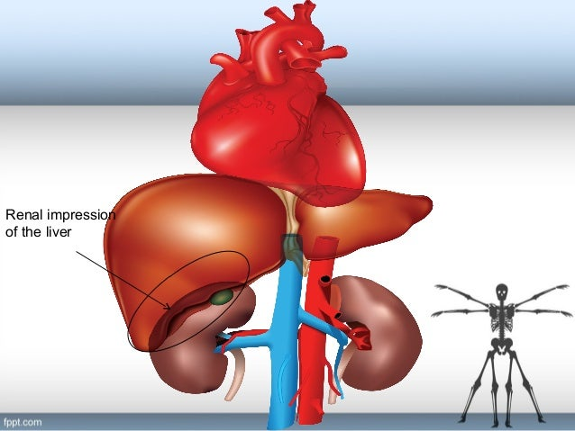 Liver And Kidneys Anatomy Popular Contemporary Art Sites With Liver