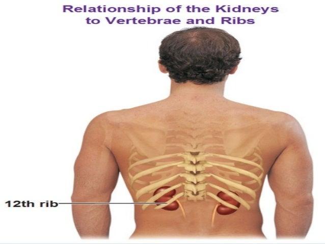 Anatomy of the kidney