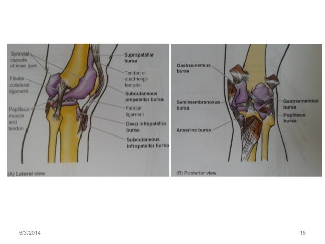 Anatomy of the knee joint 632014 15 ccuart Image collections