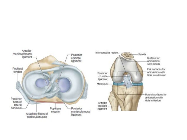 Anatomy of the knee joint 19 ccuart Image collections