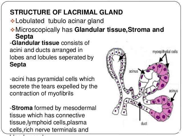 BLOOD SUPPLY- Internal carotid artery Angular vein Ophthalmic artery Superior ophthalmic vein Lacrimal artery Lacrimal vei...