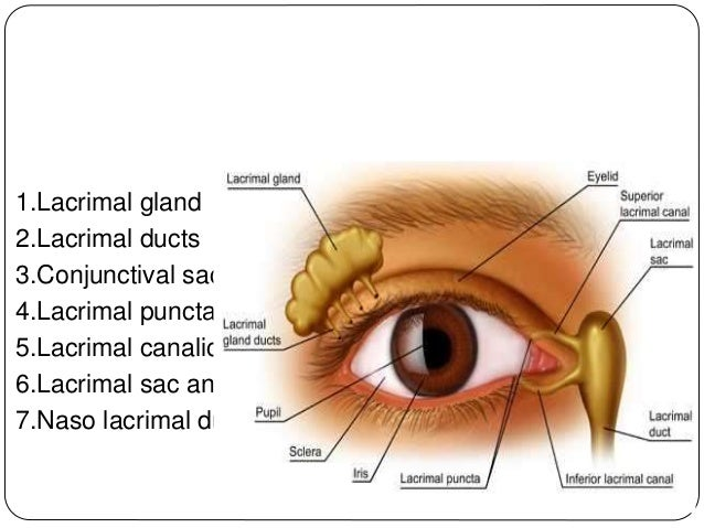 1.Lacrimal gland 2.Lacrimal ducts 3.Conjunctival sac 4.Lacrimal puncta 5.Lacrimal canaliculi 6.Lacrimal sac and 7.Naso lac...