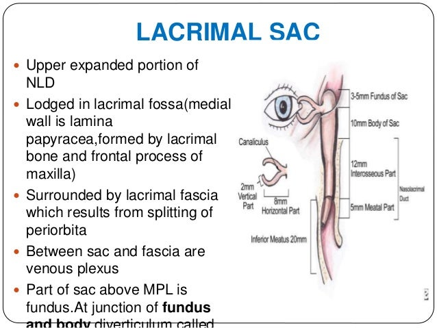  RELATIONS Anteriorly to medial palpebral ligament Posteriorly to posterior lacrimal crest and orbicularis oculi Medially...