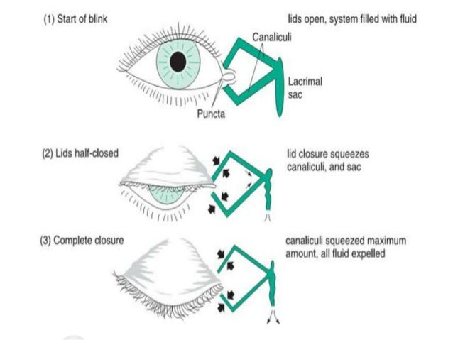 Anatomy of the lacrimal apparatus sivateja