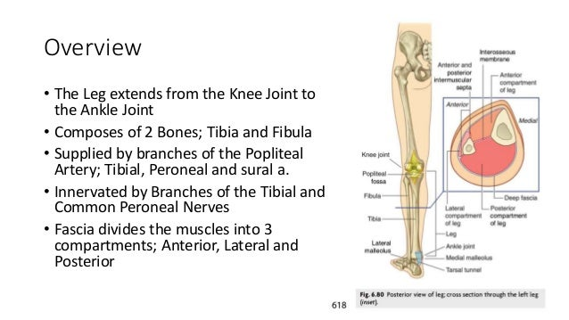 Anatomy of the leg Slide 3