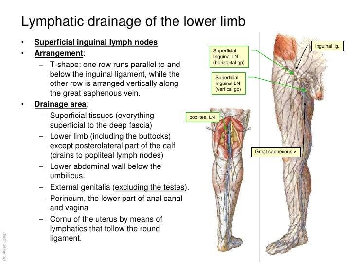 Diagram Location Lymph Nodes Leg Circuit Connection Diagram